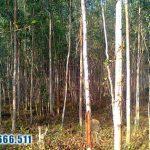 Bạch Đàn – một loại cây lấy gỗ lại có nhiều công dụng đến vậy
