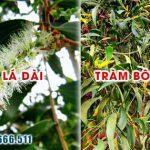 Tìm hiểu về cây cừ tràm và những ứng dụng của chúng trong đời sống