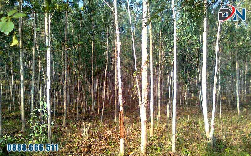 rừng bạch đàn