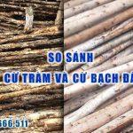 So sánh cây cừ tràm và cừ bạch đàn trong xây dựng